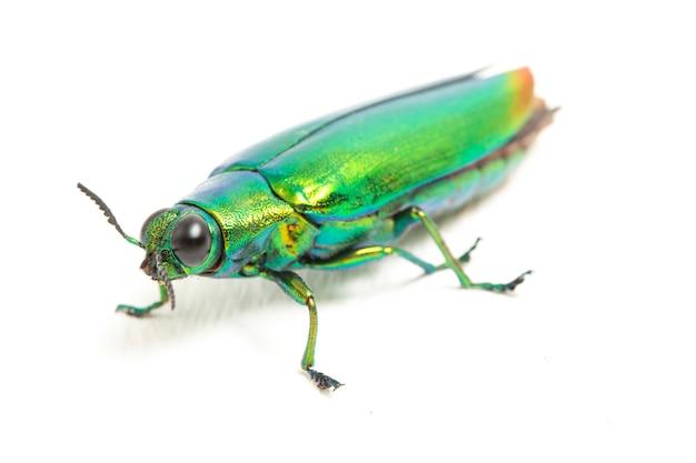 Primo piano dell'insetto dello scarabeo del gioiello Foto Premium