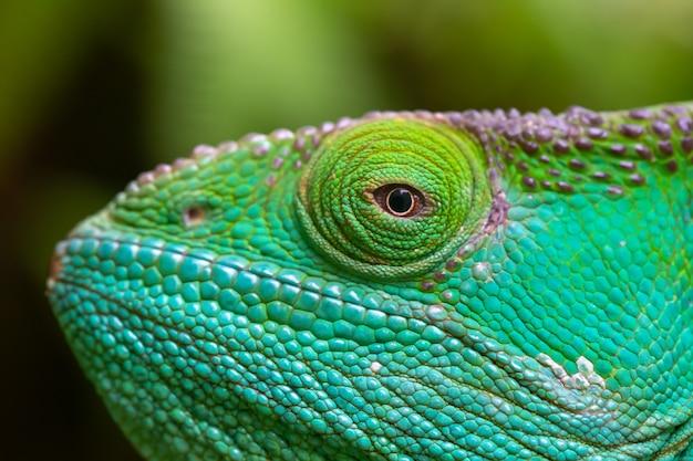 Close-up, ripresa macro di un camaleonte verde Foto Premium