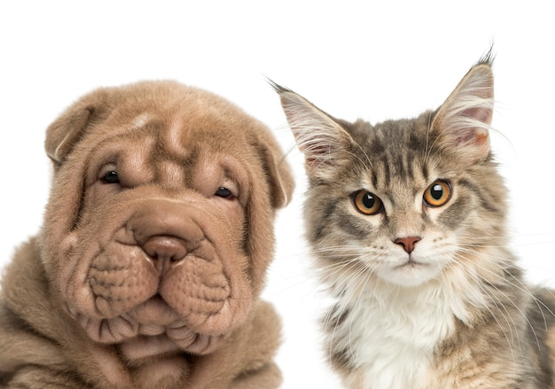 Primo piano di un gattino del coon della maine e del cucciolo di shar pei che esamina la macchina fotografica Foto Premium