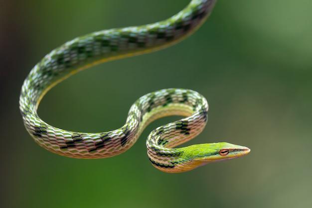 Primo piano foto di serpente vite asiatica sul ramo di un albero Foto Premium
