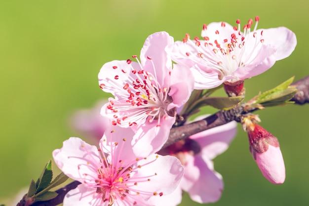 Primo piano di fiori rosa pesco blossom sul ramo di un albero Foto Premium