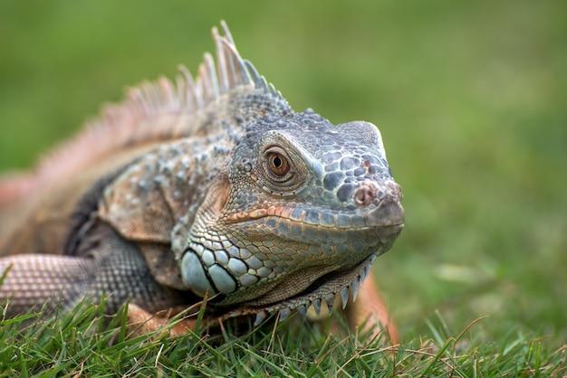 Vicino ritratto di un comune iguana Foto Premium