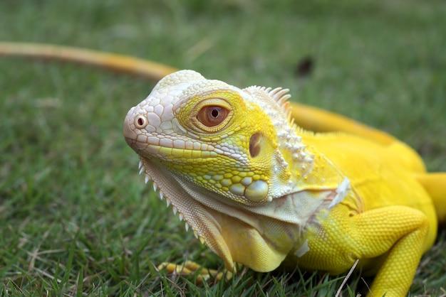 Vicino ritratto di un giallo iguana Foto Premium