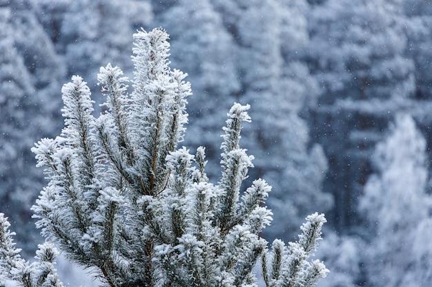 Primo piano di una cima coperta di neve di un abete rosso sotto una nevicata su uno sfondo Foto Premium