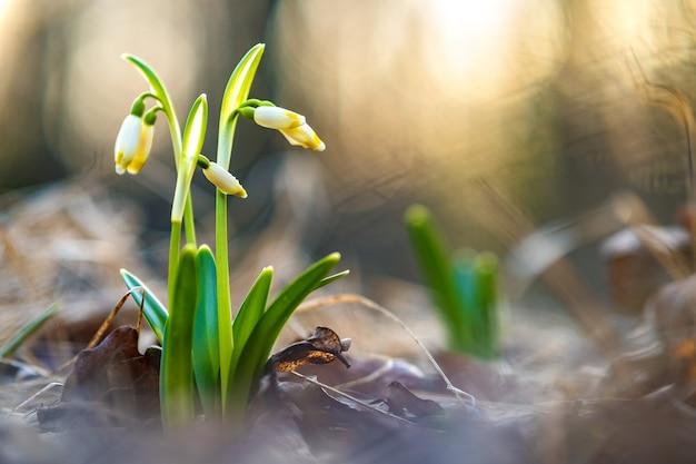 Vista ravvicinata di piccoli fiori freschi bucaneve che crescono tra le foglie secche nella foresta Foto Premium