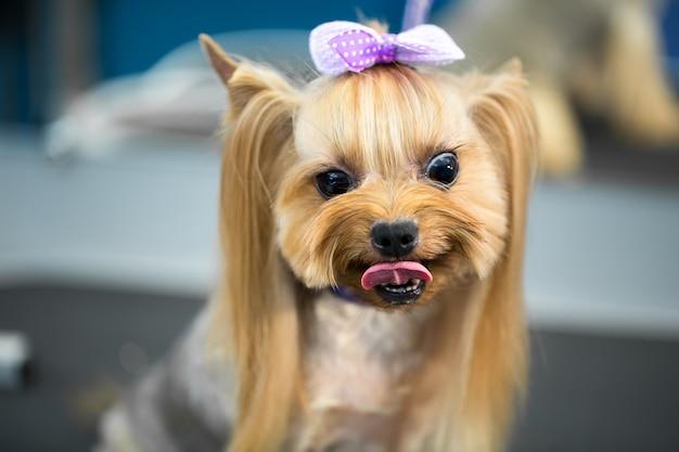 Primo piano su yorkshire terrier dopo il taglio di capelli Foto Premium