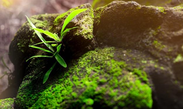 Erba verde fresca del primo piano sulla pietra con i muschi verdi in foresta pluviale. muschio sul pavimento di pietra. erba verde nella giungla dopo la pioggia. ambiente pulito. ecologia nei boschi. bellezza in natura. Foto Premium