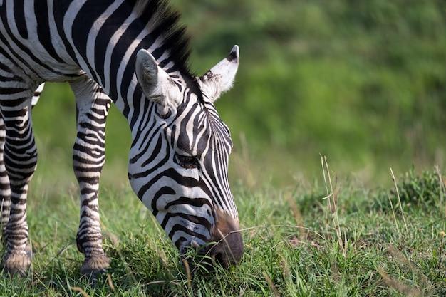 Il primo piano di una zebra in un parco nazionale Foto Premium