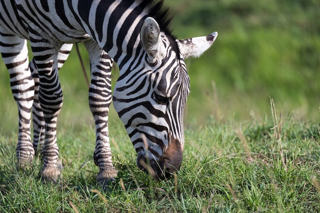 Un primo piano di una zebra in un parco nazionale Foto Premium