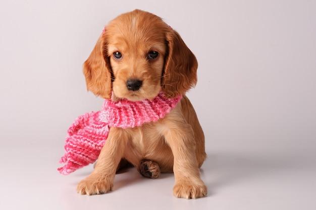 Cucciolo di cocker spaniel con sciarpa Foto Premium