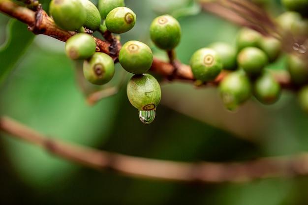 Ciliegie al caffè. chicchi di caffè sulla pianta del caffè, ramo di una pianta del caffè con i frutti maturi con rugiada. immagine di concetto. Foto Premium