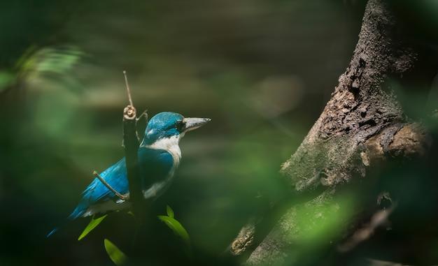 Martin pescatore dal collare che si appollaia sul ramo di albero tailandia Foto Premium