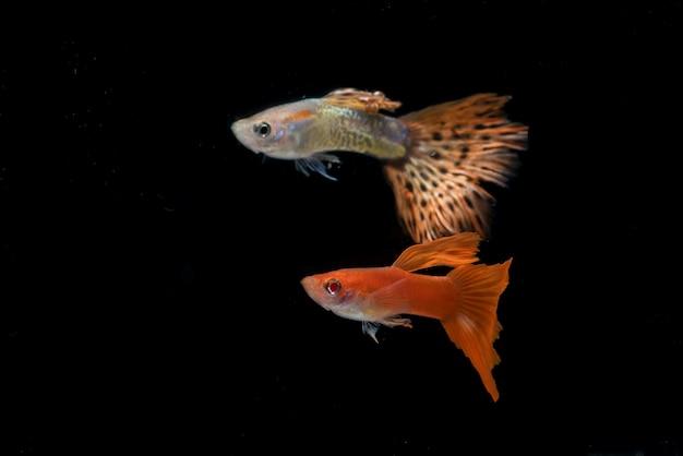 Pesci guppy colorati in nero Foto Premium