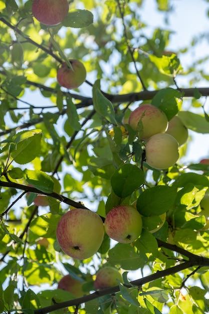 Colpo esterno colorato contenente un mazzo di mele rosse su un ramo pronto per essere raccolto Foto Premium