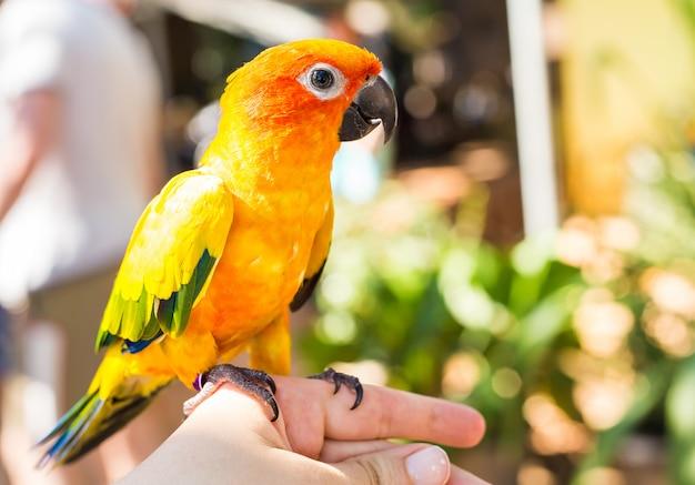 Pappagallo giallo colorato sun conure, aratinga solstitialis Foto Premium