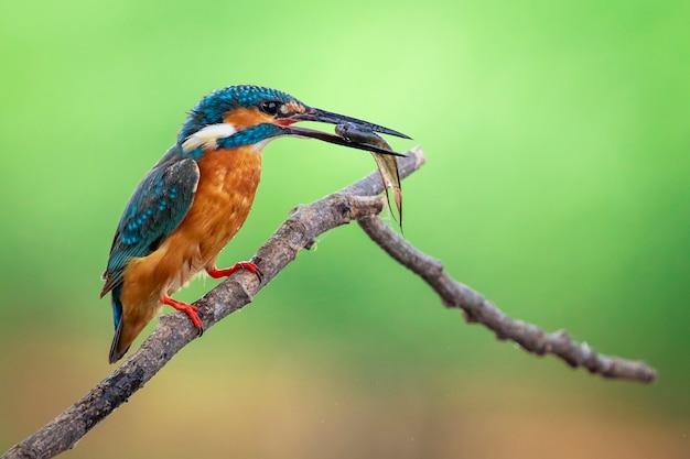 Il martin pescatore comune tiene il pesce in bocca e si appollaia. uccello. animali. Foto Premium