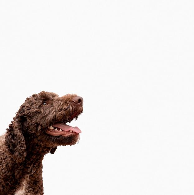 Barboncino copia-spazio con la bocca aperta Foto Premium