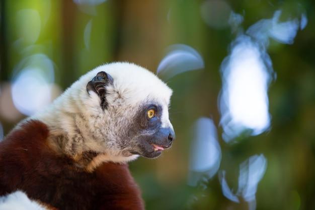 Coquerel sifaka nel suo ambiente naturale in un parco nazionale dell'isola del madagascar. Foto Premium