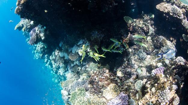 Coral reef al mar rosso, egitto. paesaggio sottomarino con pesci e scogliere. Foto Premium