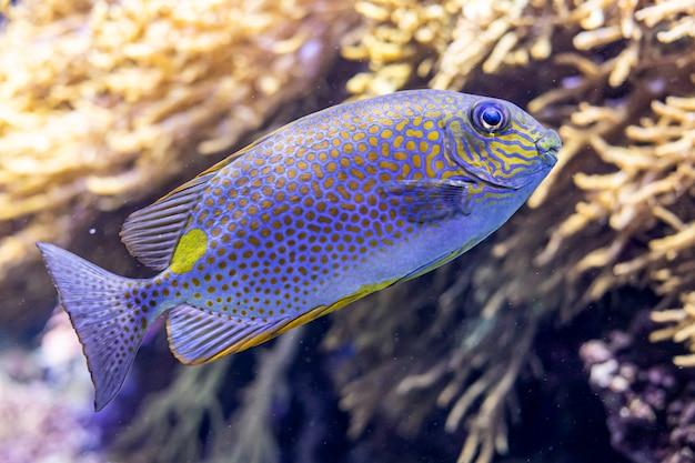 Barriera corallina con scorfano siganus guttatus o spina dorsale macchiata di arancia Foto Premium