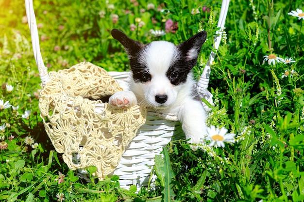 Un cucciolo di corgi è seduto in un cesto di vimini sull'erba Foto Premium