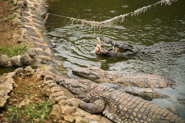 Fattoria di coccodrilli, coccodrilli alimentati con pollo legato a una corda Foto Premium