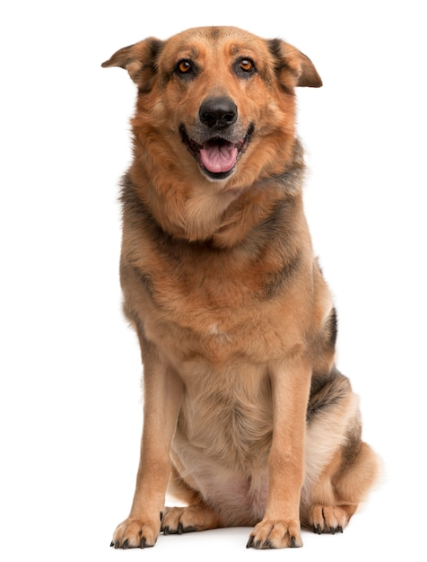 Cane di razza incrociata, 1 anno di età, seduto di fronte al muro bianco Foto Premium