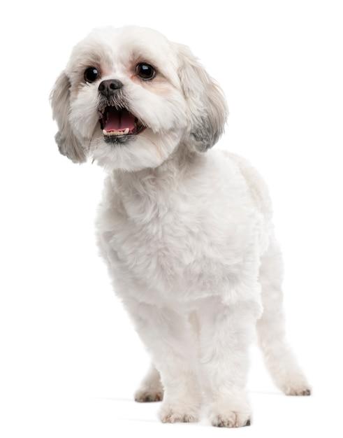 Cane di razza incrociata, 5 anni, in piedi davanti al muro bianco Foto Premium