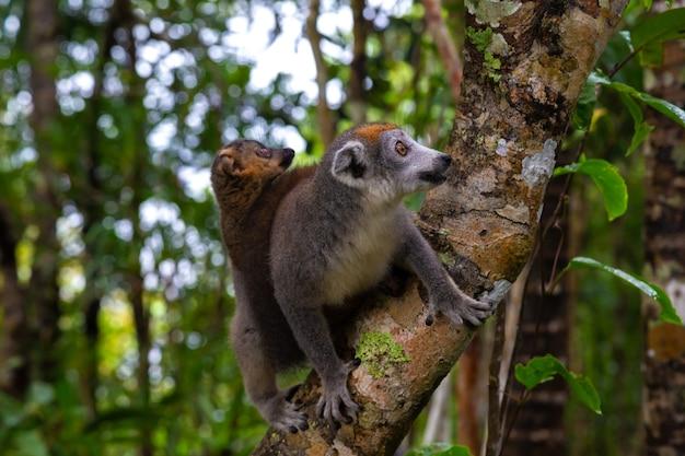 Lemure corona su un albero nella foresta pluviale del madagascar Foto Premium