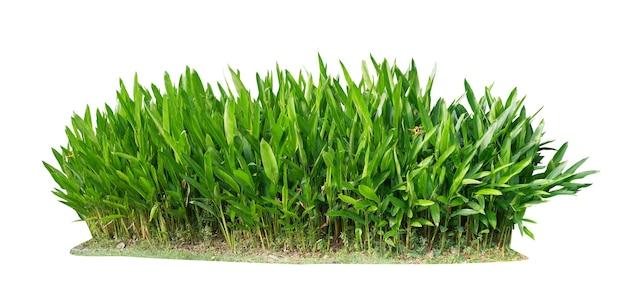 Taglia la pianta. cespuglio della pianta di heliconia isolato Foto Premium