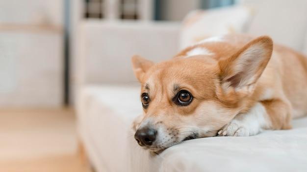 Cane carino sul divano a casa Foto Premium