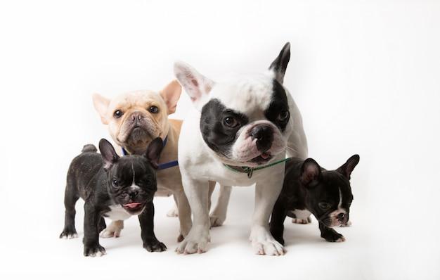 Famiglia bulldog francese carino e divertente Foto Premium