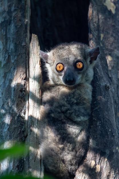 Lemure peloso carino in natura Foto Premium