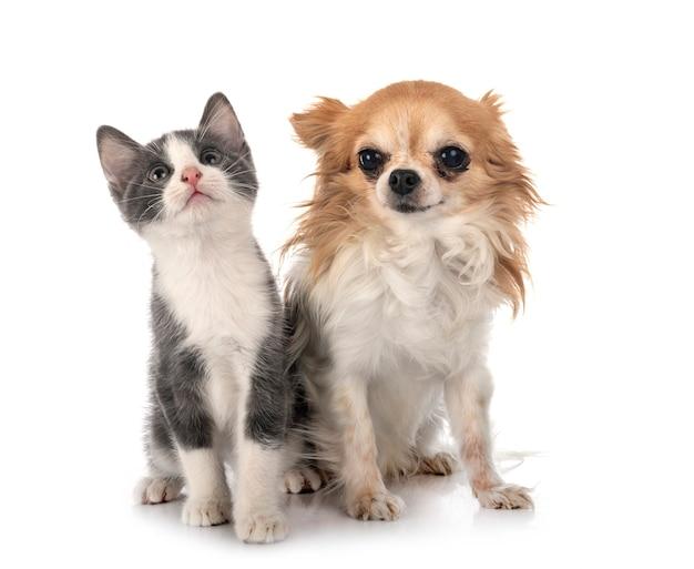 Gattino sveglio e cane chihuahua Foto Premium