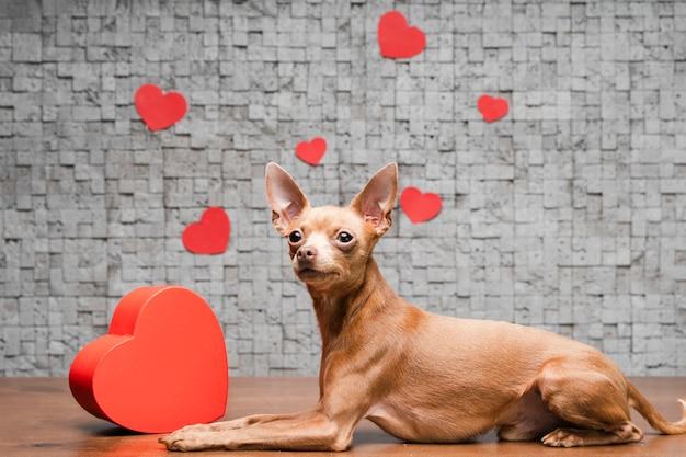 Piccolo cane sveglio della chihuahua circondato dai cuori Foto Premium