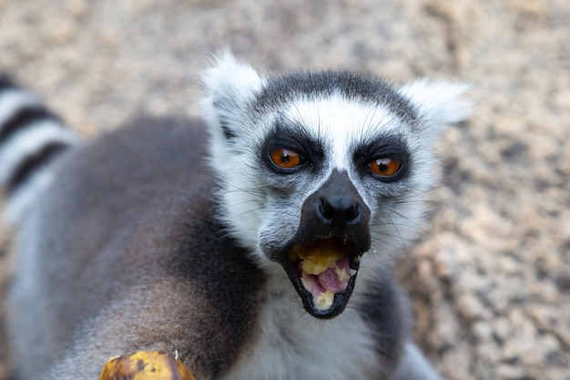 Lemure dalla coda ad anelli carino in natura Foto Premium