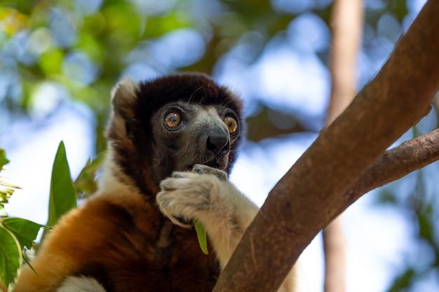 Lemure sifaka carino su un albero Foto Premium