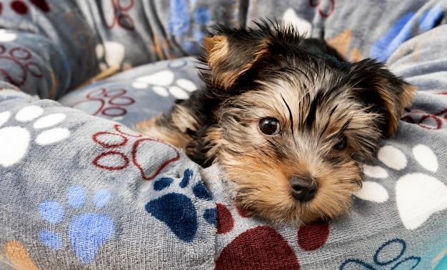 Cucciolo di yorkshire terrier carino rilassante nel suo letto Foto Premium
