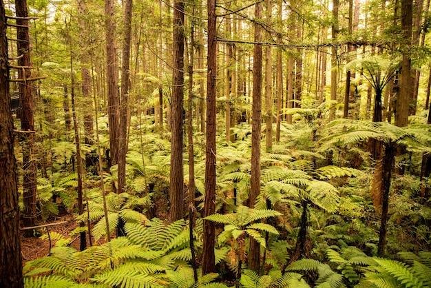 Nel profondo della lussureggiante foresta di sequoie camminando sull'albero sospeso sopra le alte felci native di punga Foto Premium