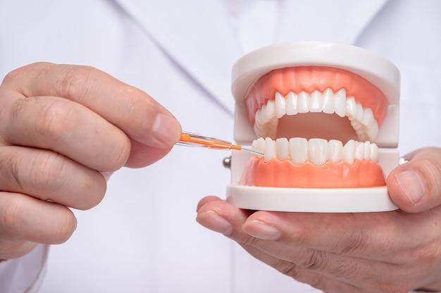 Un dentista in possesso di un modello di dente e uno spazzolino interdentale. Foto Premium