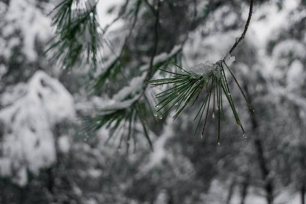 Dettaglio di un ramo di pino innevato Foto Premium