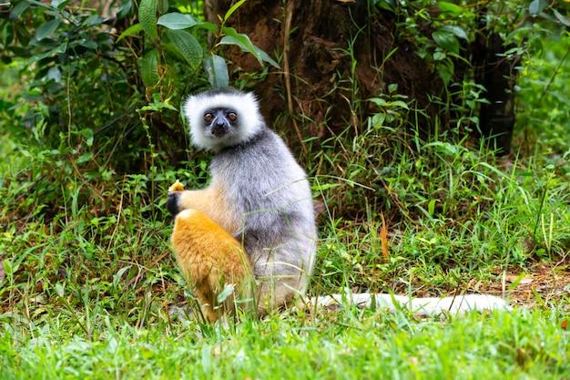 Sifaka diademato nel suo ambiente naturale Foto Premium