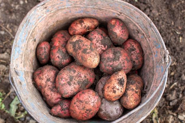Scavando patate in giardino. patate raccolte in un secchio. Foto Premium