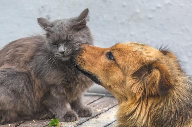 Il cane lecca il muso di un gatto. amichevole rapporto cane e gatto Foto Premium