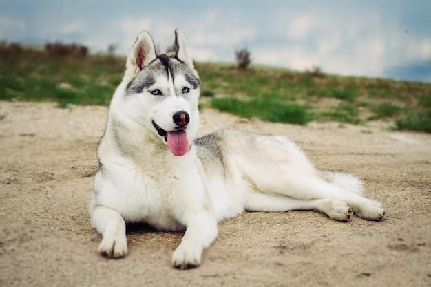 Cane. ritratto di siberian husky. cane sulla riva del fiume. paesaggio Foto Premium