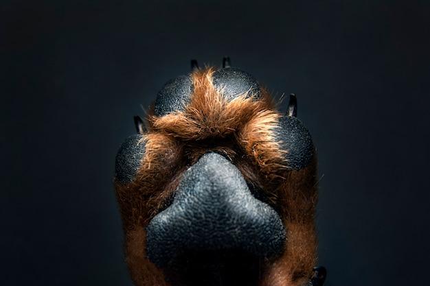 Fine della zampa del cane in su su una priorità bassa nera. consistenza della pelle. Foto Premium