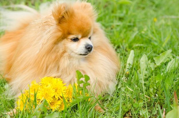Cane con fiori sull'erba verde. spitz di pomerania con denti di leone. consegna di fiori. Foto Premium