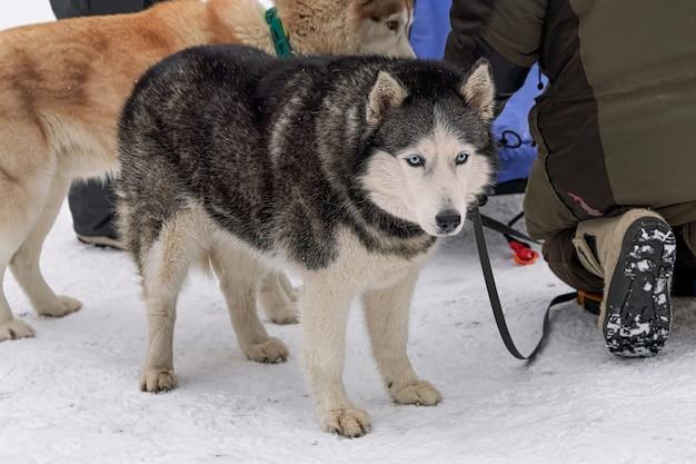 Cani da cavalcare in slitta prima di cavalcare in mezzo alla neve Foto Premium