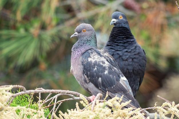 Colomba. due piccioni seduti su un ramo di conifere. Foto Premium