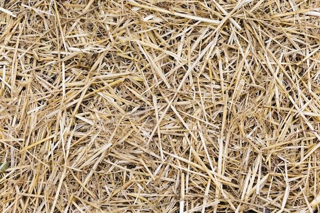 Struttura gialla asciutta del fondo dell'erba di paglia Foto Premium